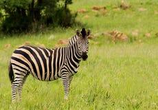 Giovane zebra di Burchells Fotografia Stock Libera da Diritti