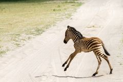 Giovane zebra nel parco nazionale di Tarangire, Tanzania Immagine Stock