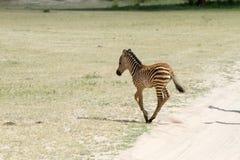 Giovane zebra nel parco nazionale di Tarangire, Tanzania Fotografia Stock Libera da Diritti