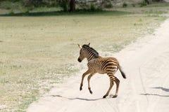 Giovane zebra nel parco nazionale di Tarangire, Tanzania Immagini Stock Libere da Diritti
