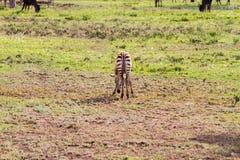 Giovane zebra in Serengeti, Tanzania Fotografia Stock Libera da Diritti