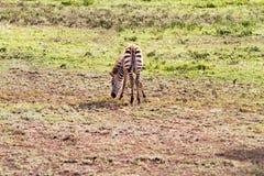 Giovane zebra in Serengeti, Tanzania Immagini Stock