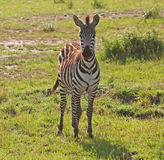 Giovane zebra sul masai mara Fotografie Stock