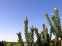 Giovani aghi del pino Immagini Stock Libere da Diritti
