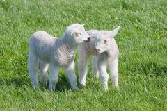 Giovani agnelli soddisfatti nel pascolo a primavera Fotografia Stock Libera da Diritti