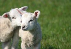 Giovani agnelli svegli del bambino nel campo Fotografia Stock