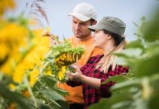 Giovani agricoltori che esaminano il raccolto dei girasoli nel campo durante il summe Fotografia Stock