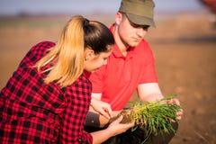 Giovani agricoltori che examing grano piantato mentre il trattore sta arando il fi Fotografie Stock
