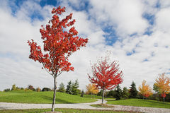 Giovani alberi di acero in autunno fotografie stock