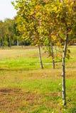 Giovani alberi nei primi giorni di ottobre fotografia stock