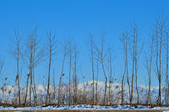 Giovani alberi su un fondo delle montagne Fotografia Stock Libera da Diritti