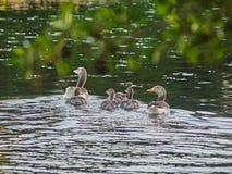 Giovani anatre che nuotano sul lago fotografia stock