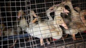 Giovani anatroccoli in una gabbia all'azienda avicola archivi video