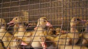 Giovani anatroccoli in una gabbia all'azienda avicola stock footage