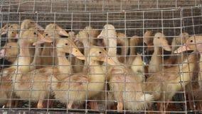 Giovani anatroccoli in una gabbia all'azienda avicola video d archivio