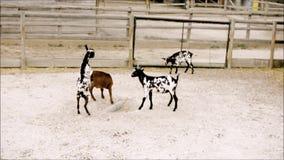 Giovani arti marziali di pratica delle capre in zoo video d archivio