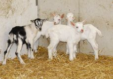 Giovani bambini della capra Fotografia Stock Libera da Diritti