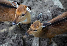 Giovani bambino uovo di pesce dei cervi e madre dei cervi Fotografie Stock