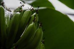 Giovani banane fotografie stock