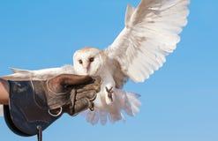 Giovani barbagianni durante la manifestazione di volo di caccia col falcone nel Dubai, UAE Fotografie Stock