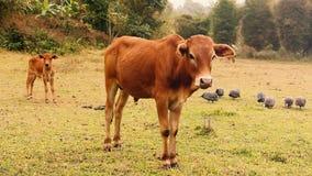 Giovani bestiame e vitello sul prato archivi video