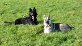 Giovani cani da pastore tedeschi nel campo Fotografia Stock