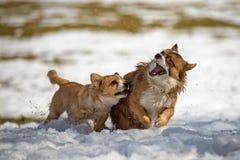 Giovani cani nella neve Fotografie Stock Libere da Diritti