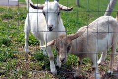 Giovani capre fotografia stock