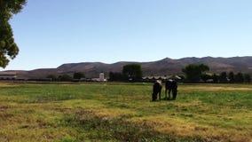 Giovani cavalli da corsa del purosangue che mangiano erba stock footage