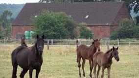 Giovani cavalli dei puledri che pascono vicino alle stalle stock footage
