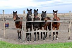 Giovani cavalli futuri di racin Immagini Stock Libere da Diritti