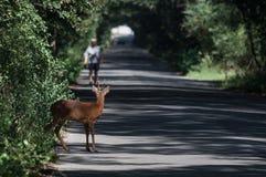Giovani cervi che attraversano la via Fotografia Stock