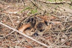 Giovani cervi che dormono sotto il piccolo abete rosso in foresta Fotografia Stock