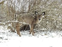 Giovani cervi dalla coda bianca che danno una occhiata un giorno invernale Immagine Stock