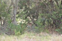 Giovani cervi della coda bianca Fotografia Stock