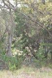 Giovani cervi della coda bianca Immagine Stock Libera da Diritti