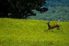 Giovani cervi maschii della coda bianca che funzionano attraverso il Vermont Immagini Stock