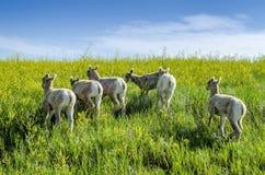 Giovani cervi muli, CO Fotografia Stock