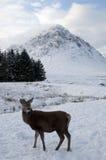 Giovani cervi nella neve alla valletta Coe in Scozia Fotografia Stock Libera da Diritti