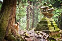Giovani cervi Sika in Nara Park Fotografie Stock
