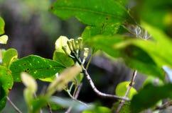 Giovani chiodi di garofano sull'albero, Indonesia fotografia stock