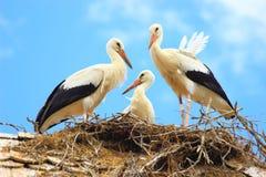 Giovani cicogne in nido Immagini Stock Libere da Diritti