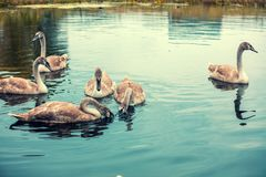 Giovani cigni che nuotano in uno stagno Fotografie Stock