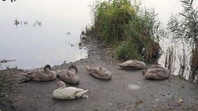 Giovani cigni che si rilassano sulla riva dello stagno archivi video