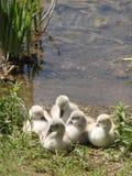 Giovani cigni su un lago Immagini Stock Libere da Diritti