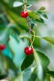 Giovani ciliege di maturazione su un albero nel giardino all'azienda agricola Frutta rossa matura Agricoltura biologica Fotografia Stock Libera da Diritti