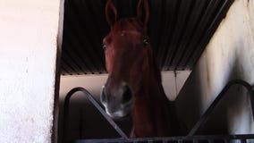 Giovani colloqui sciocchi del cavallo da corsa del purosangue stock footage