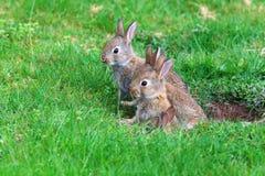 Giovani conigli Fotografia Stock