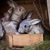 Giovani conigli schioccando da un hutch Fotografie Stock