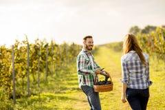 Giovani coppie che raccolgono l'uva in una vigna Fotografia Stock